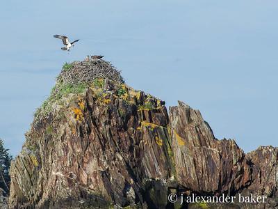 Osprey Nest Pulpit Rock