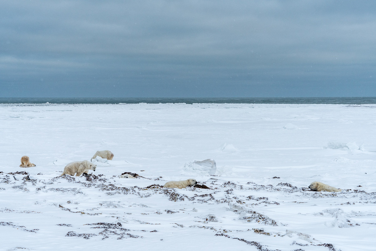 Six polar bears in one spot