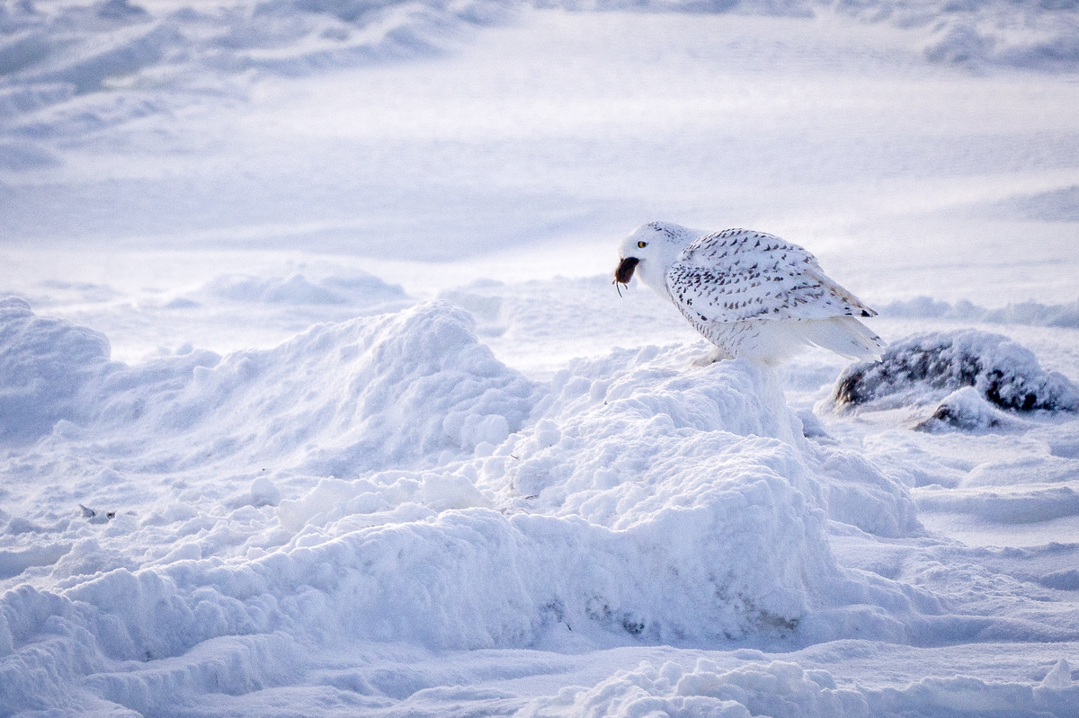 A snowy owl in Churchill, Manitoba