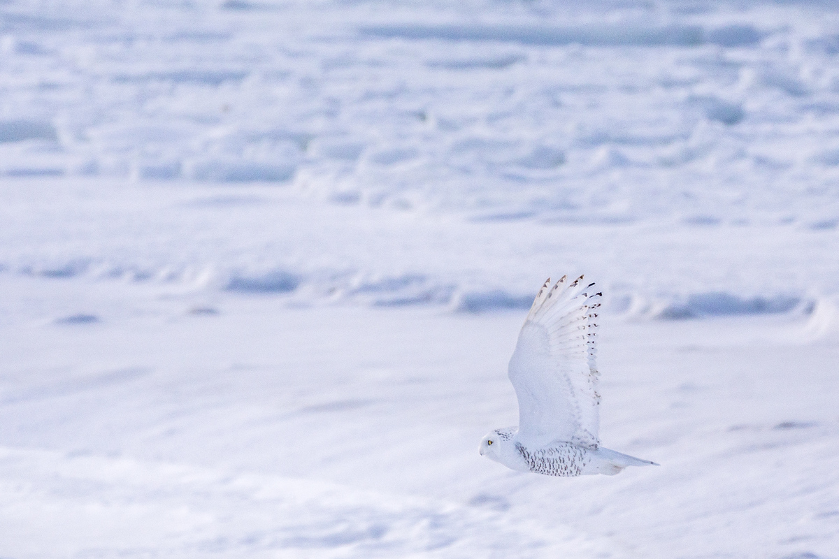 Snowy owl in flight near Churchill, Manitoba
