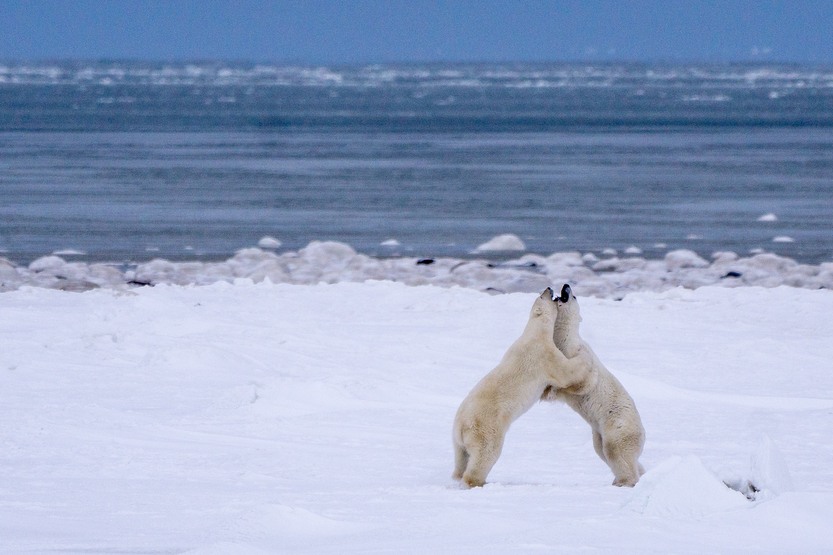 Young male polar bears sparring in Churchill, Manitoba
