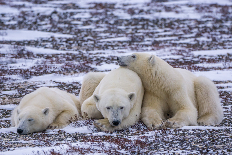 Mother and cubs waiting for the sea ice to come in