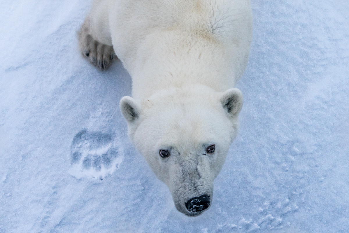 Curious polar bear with a paw print