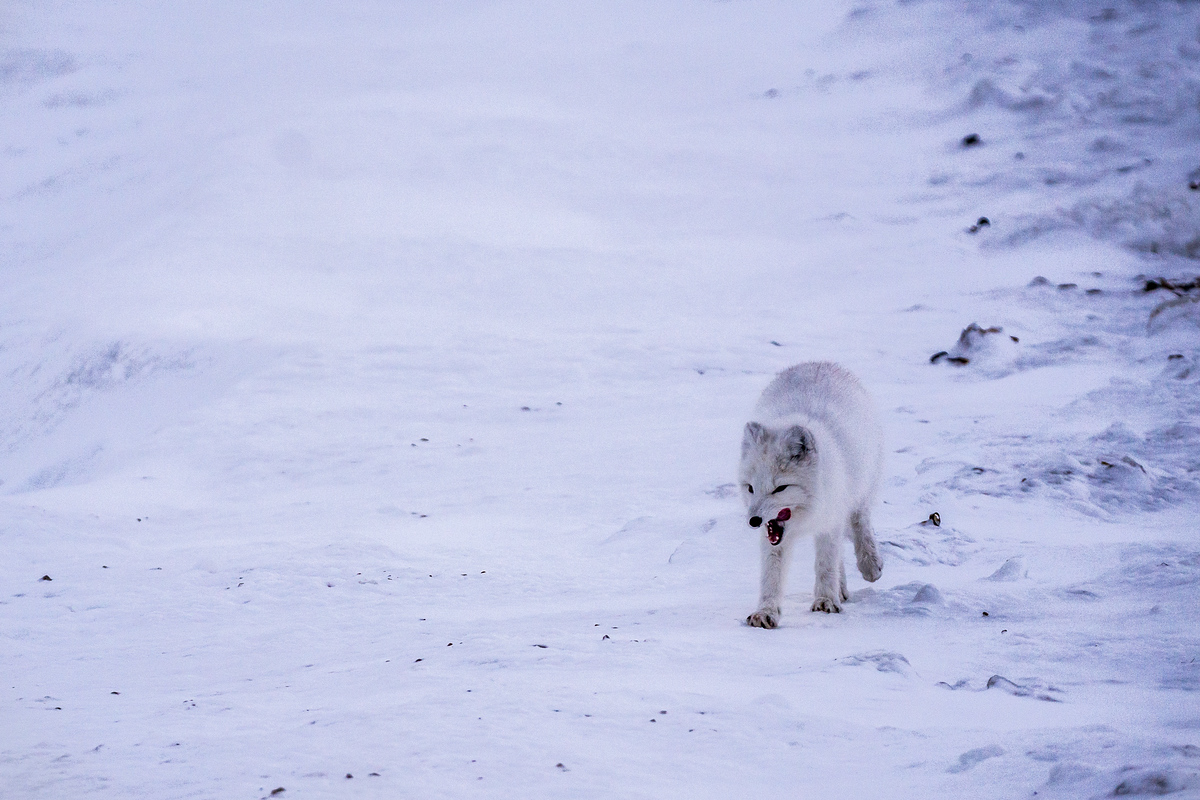 Arctic fox in Churchill, Manitoba