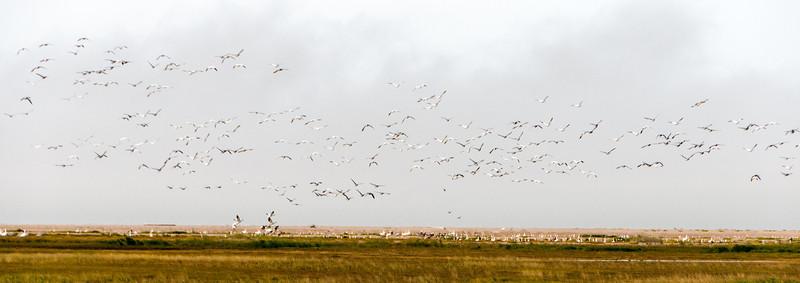 Flying tundra swans over Hudson Bay in Manitoba, Canada