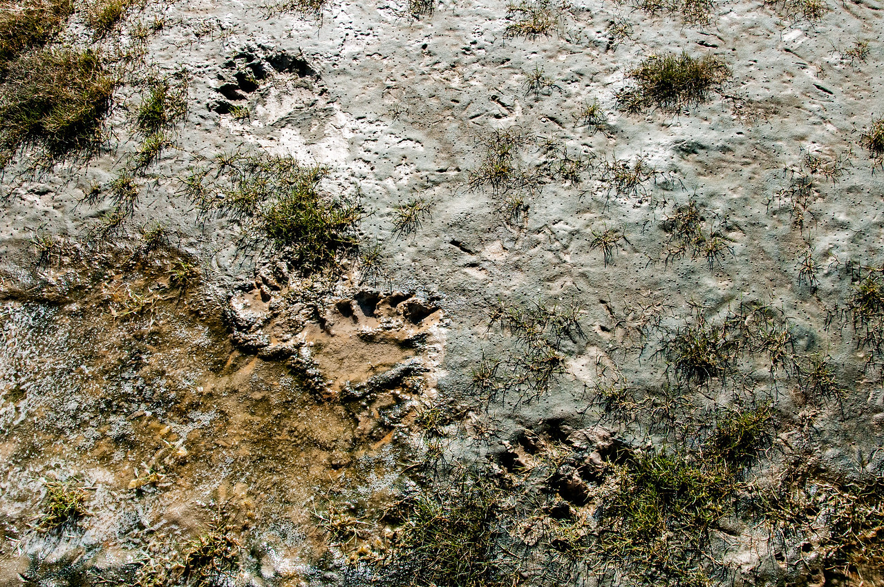 Bear paw prints along the shore of Hudson Bay in Manitoba, Canada