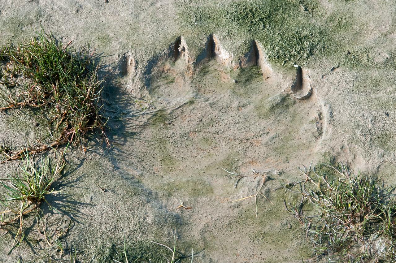 Bear paw prints on the shore of Hudson Bay, Manitoba, Canada