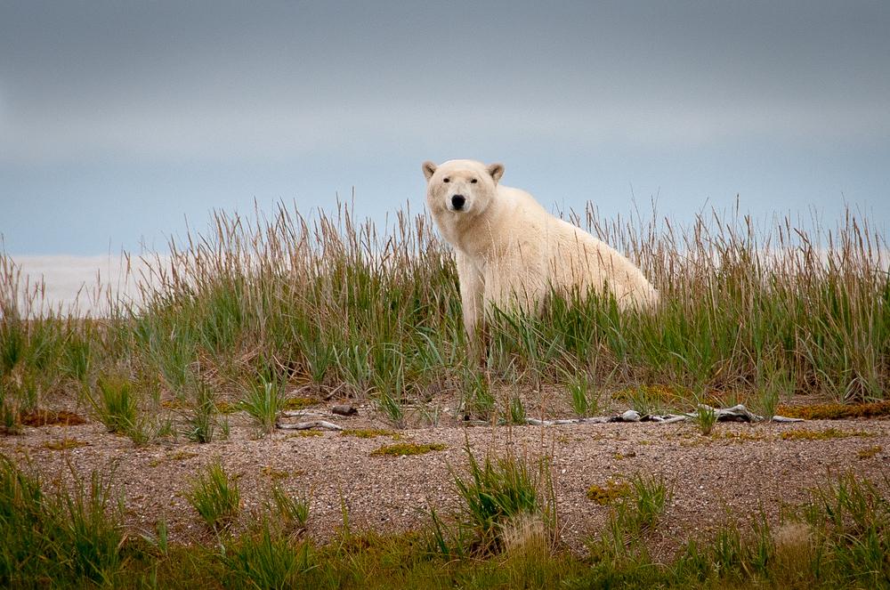 Wild Polar Bear in Northern Manitoba, Canada