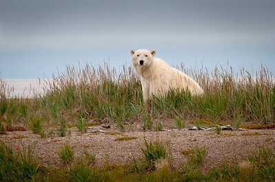 A polar bear near Hudson Bay in Manitoba, Canada
