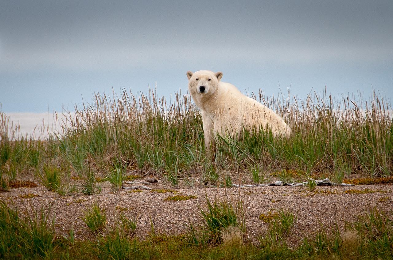 A polar bear near Hudson Bay in Manitoba, Canada