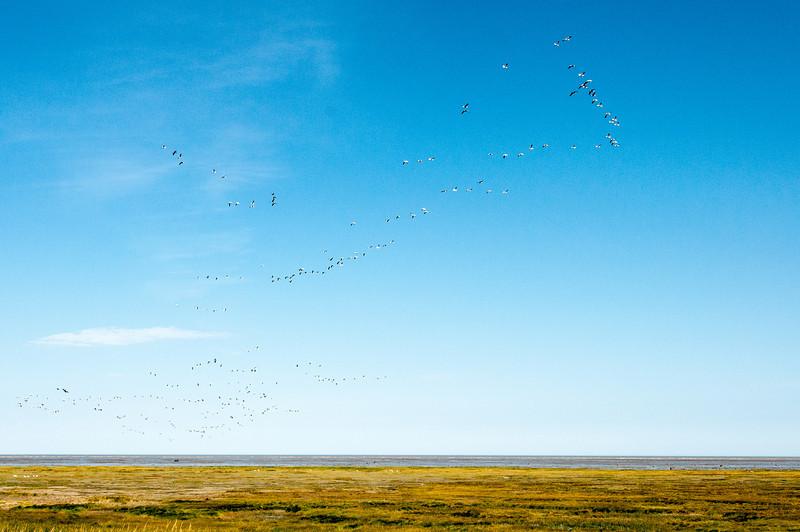Tundra swans over Hudson Bay in Manitoba, Canada