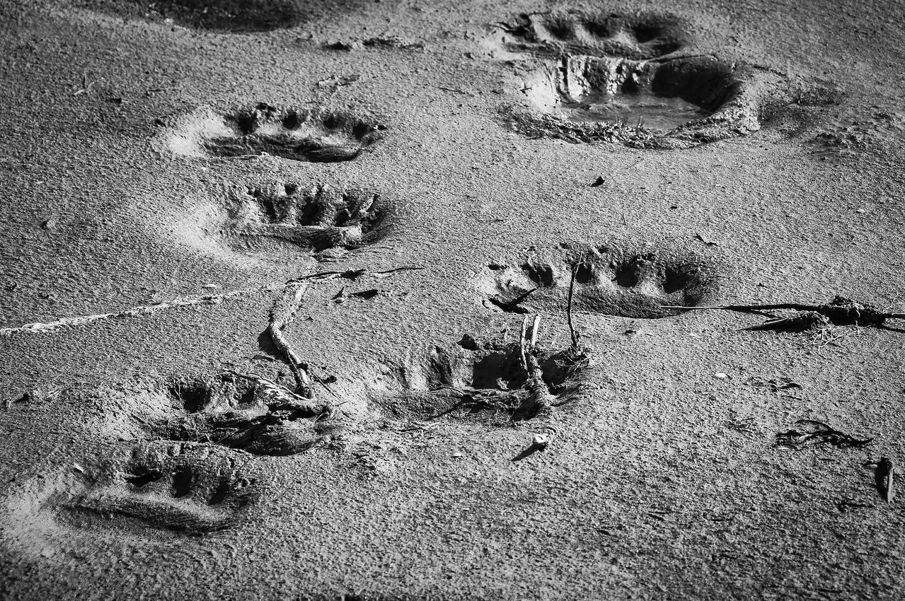 Bear paw prints along the shore of Hudson Bay in Manitoba, Canada