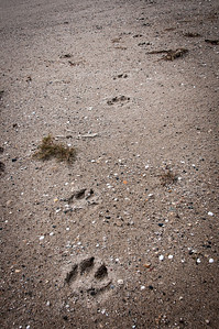 Bear paw prints near Hudson Bay in Manitoba, Canada