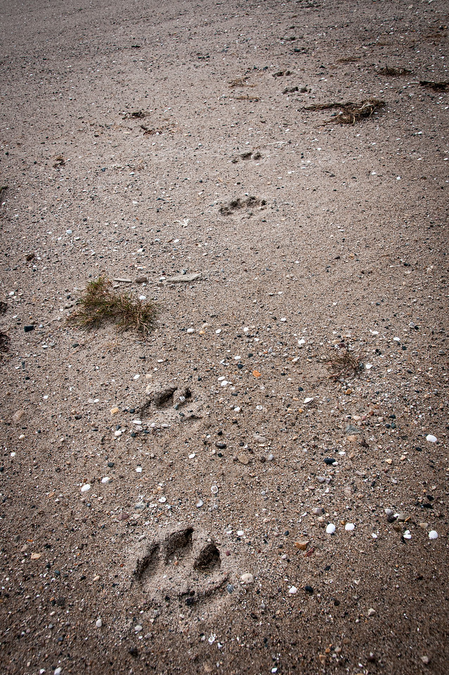 Bear paw prints near Hudson Bay in Manitoba, Canada