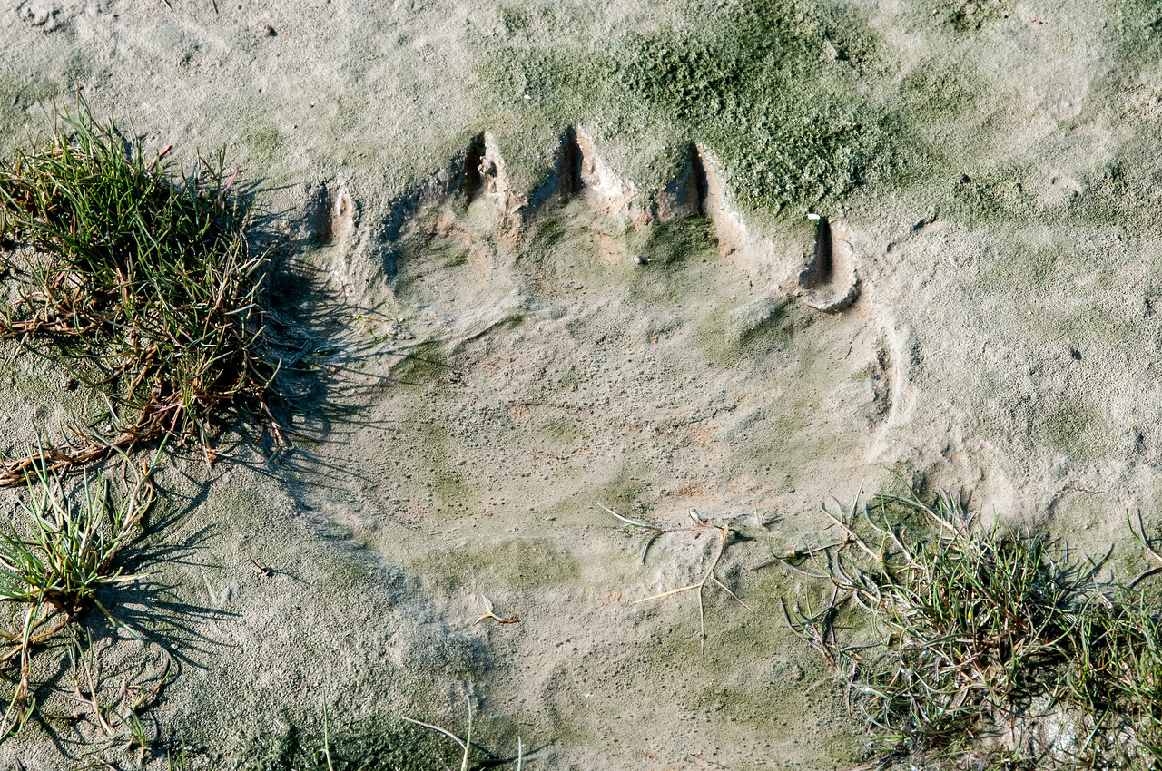 Bear paw prints on the shore of Hudson Bay, Manitoba, Canada