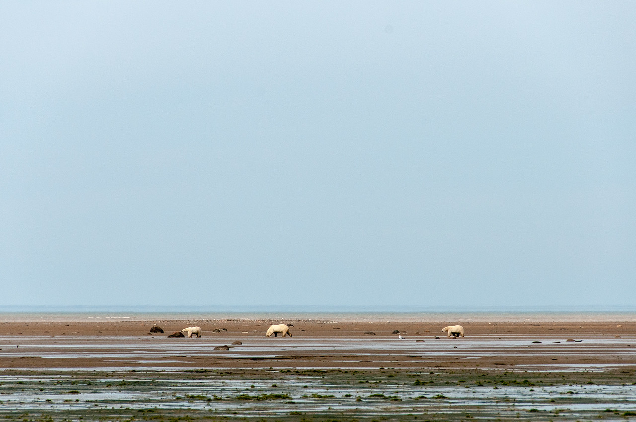 Bears during low tide in Hudson Bay, Manitoba, Canada