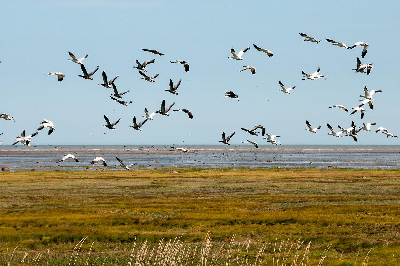 Flying tundra swans at the shore of Hudson Bay in Manitoba, Canada