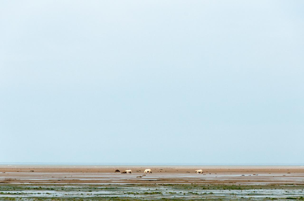 Polar bears during low tide in Hudson Bay, Manitoba, Canada