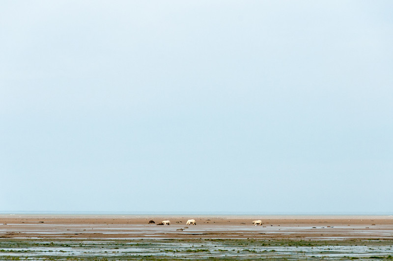 Polar bears during low tide in Hudson Bay, Manitoba, Canada