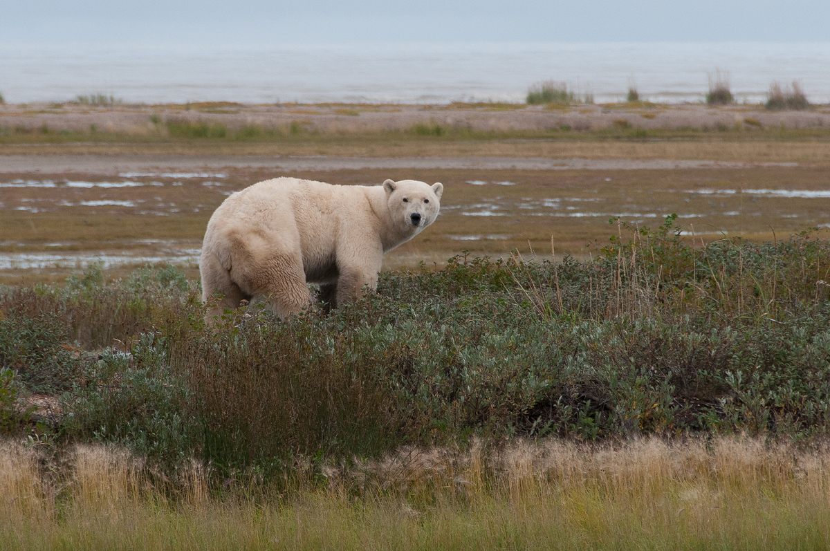 Polar Bear on the Shore of Hudson Bay in Northern Manitoba