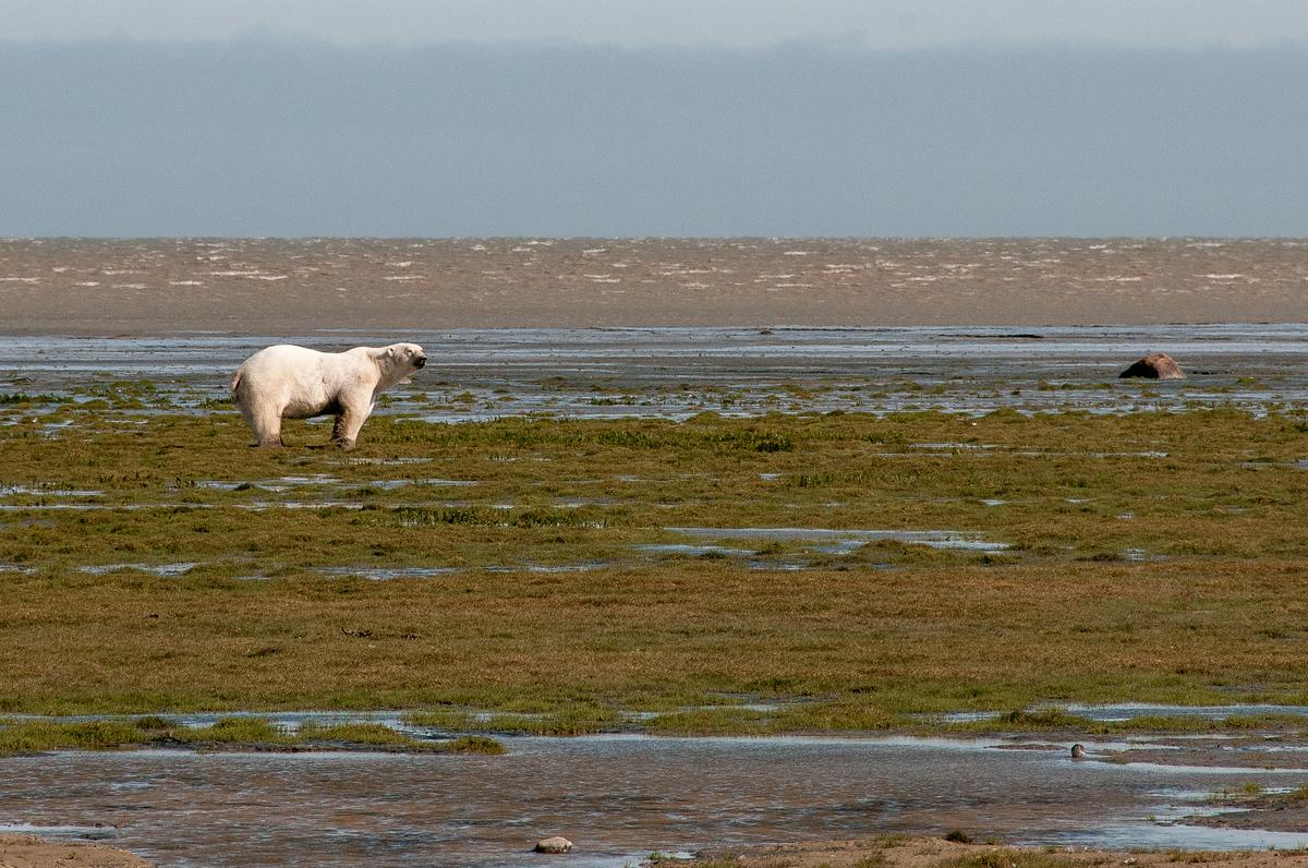 A Polar Bear on the Shore of Hudson Bay, Manitoba