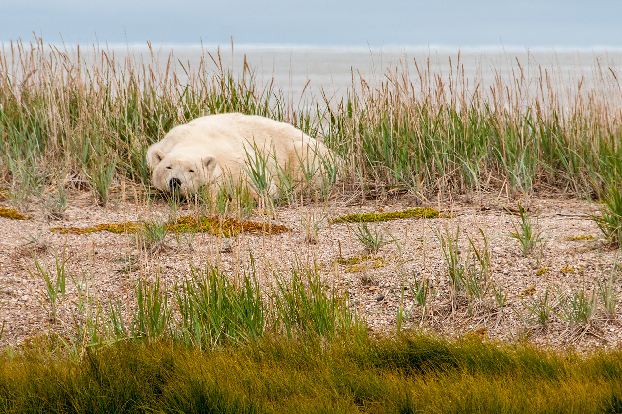 Polar bear near Hudson Bay in Manitoba, Canada