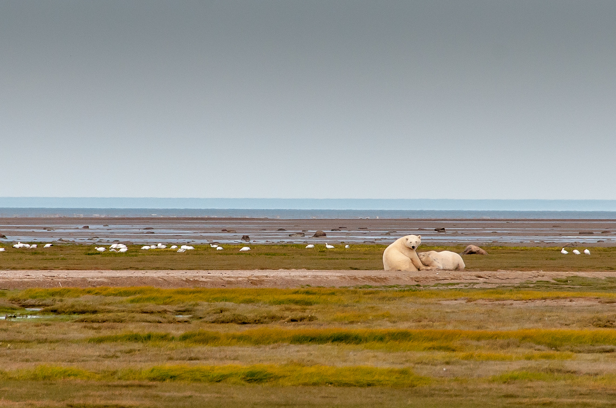 Polar Bears on the Shore of Hudson Bay, Manitoba