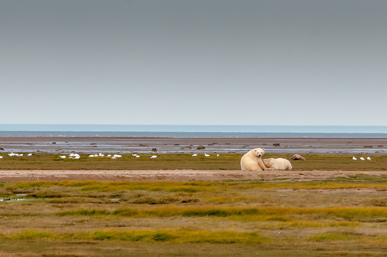 Polar bears near Hudson Bay in Manitoba, Canada
