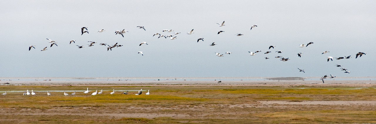 Flying tundra swans over Hudson Bay in Manitoba, Canada