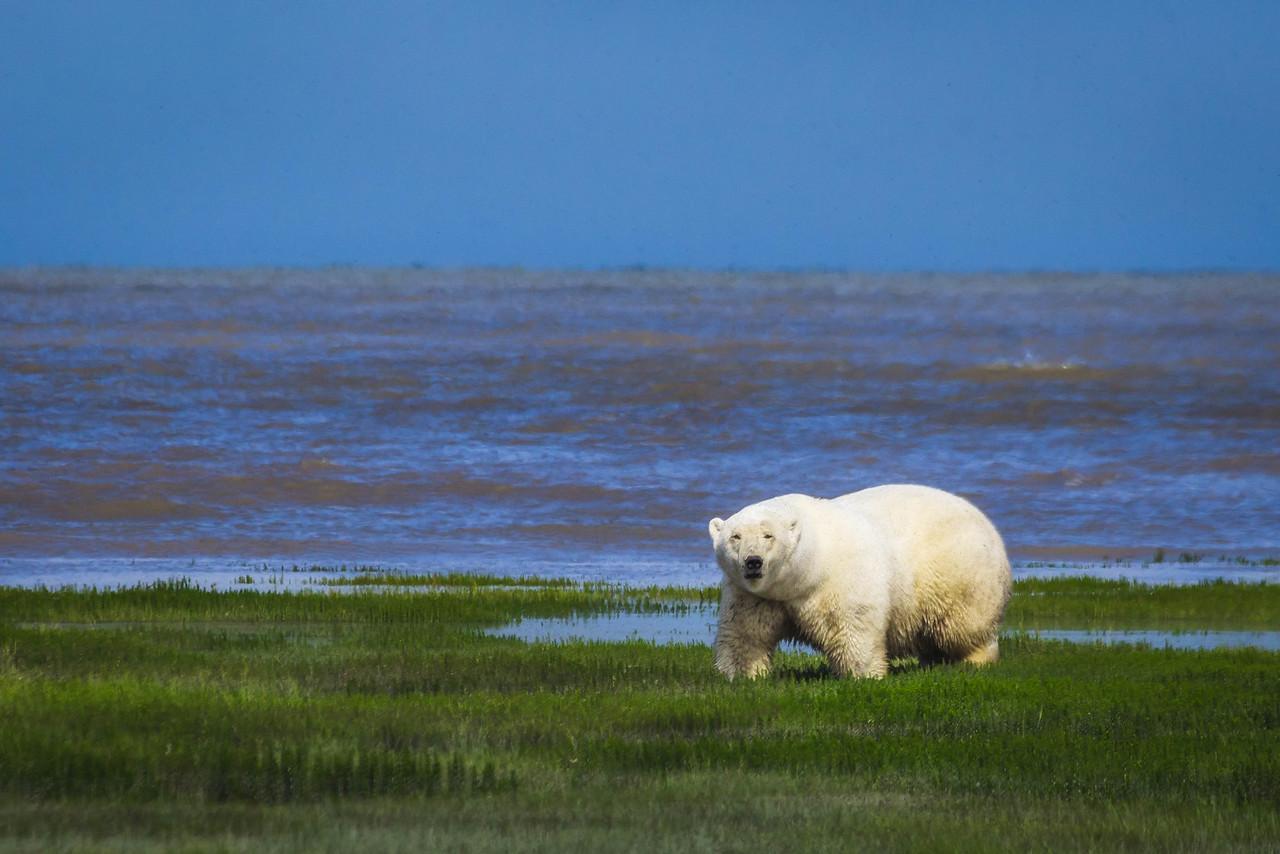 Lone Polar Bear
