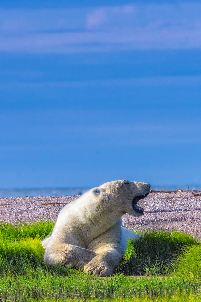 A big yawn from a Hudson Bay Polar Bea