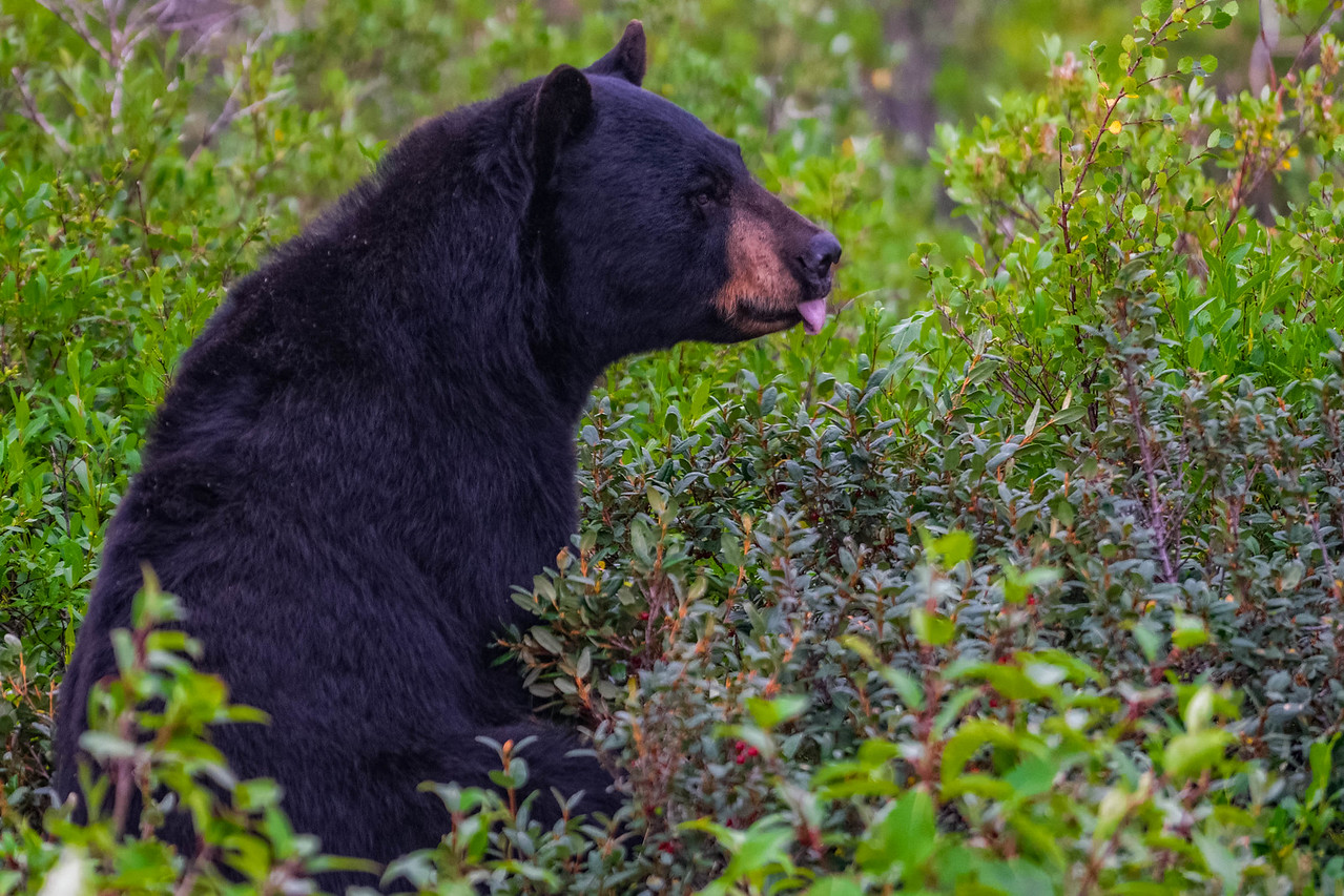 black bear in manitoba