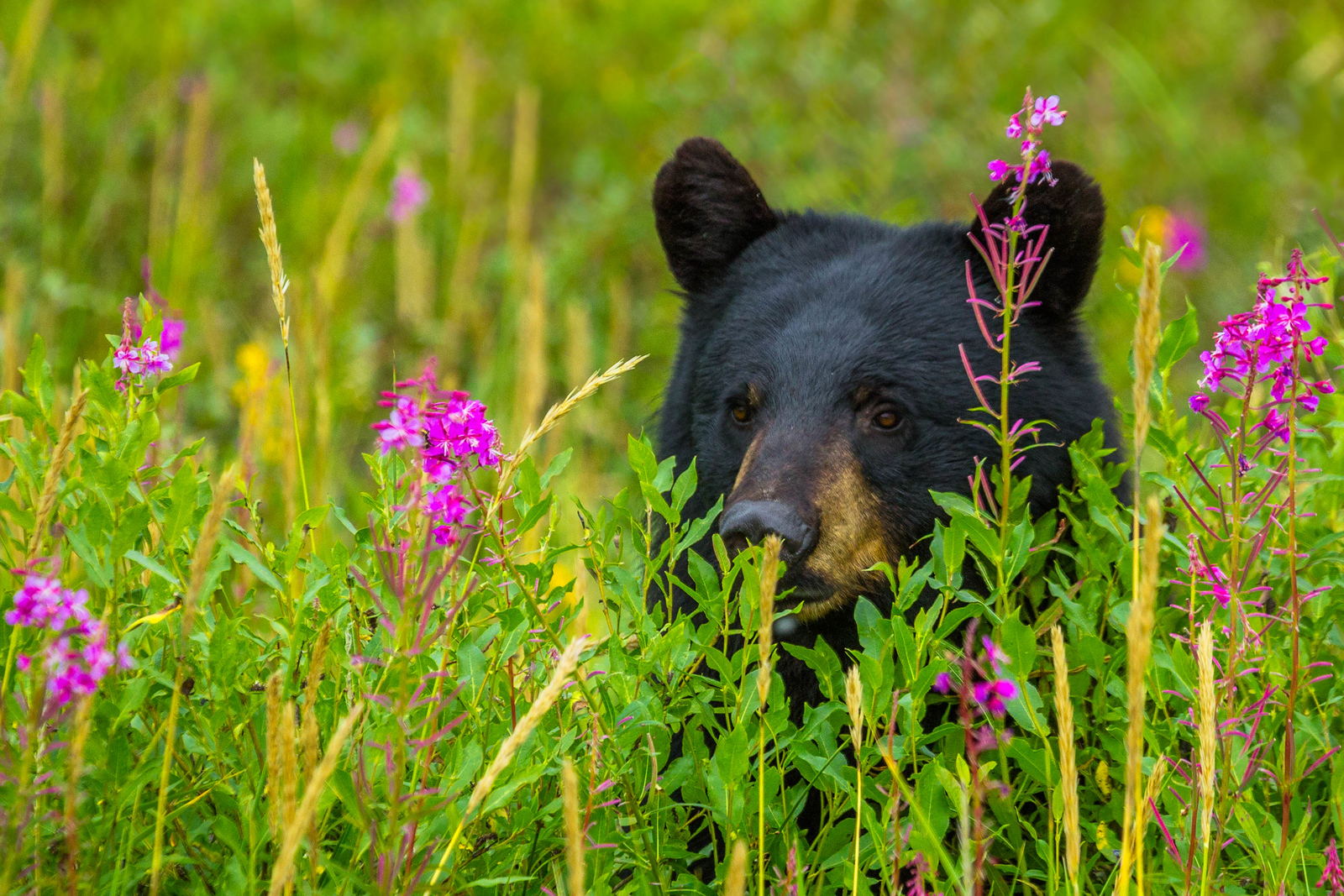 Black bears in Manitoba, Canada