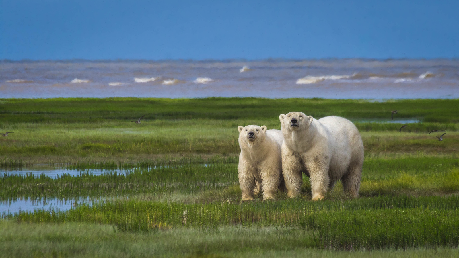 Walking with Polar Bears in Manitoba, Canada