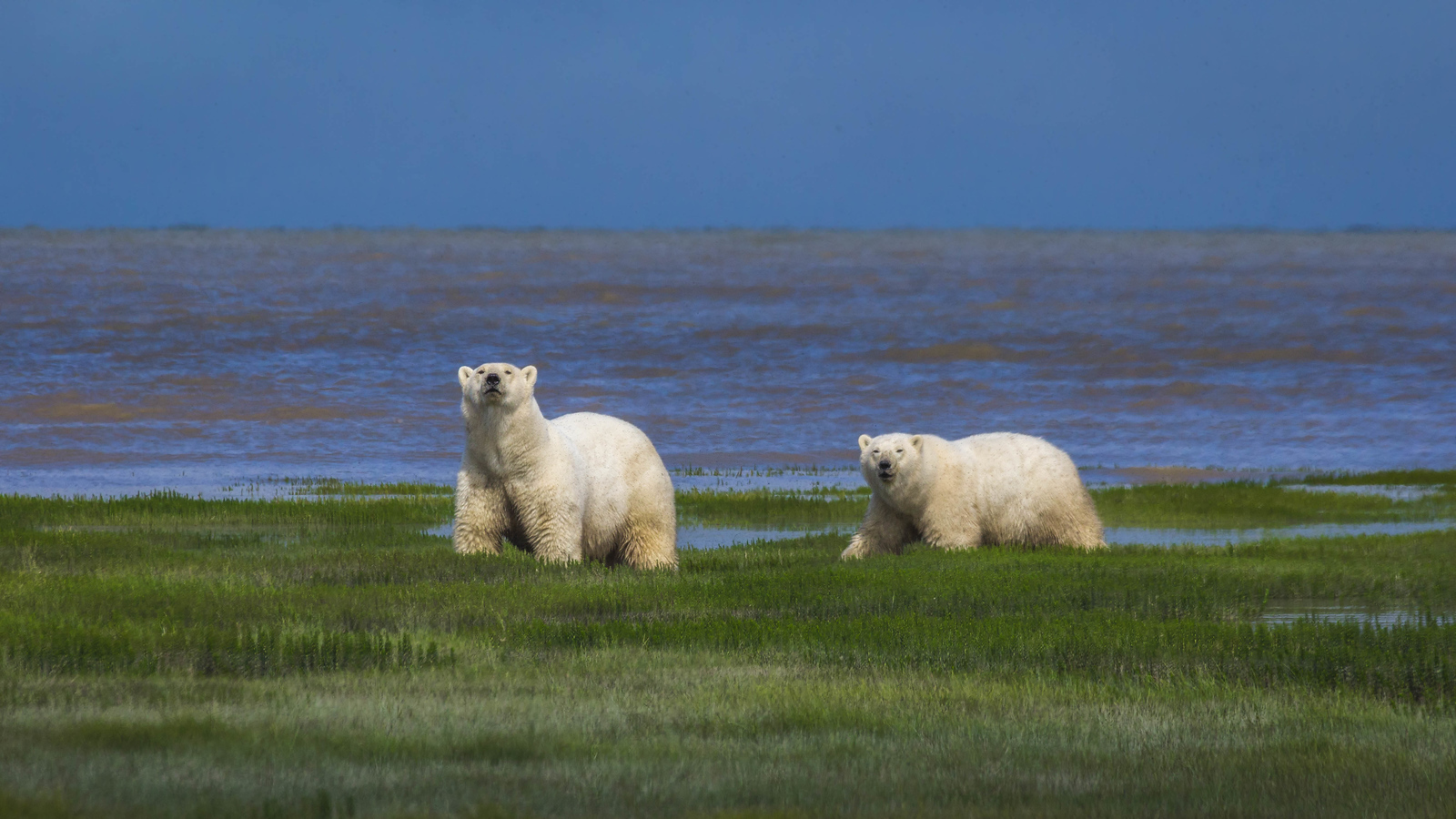 Polar bears hudson bay
