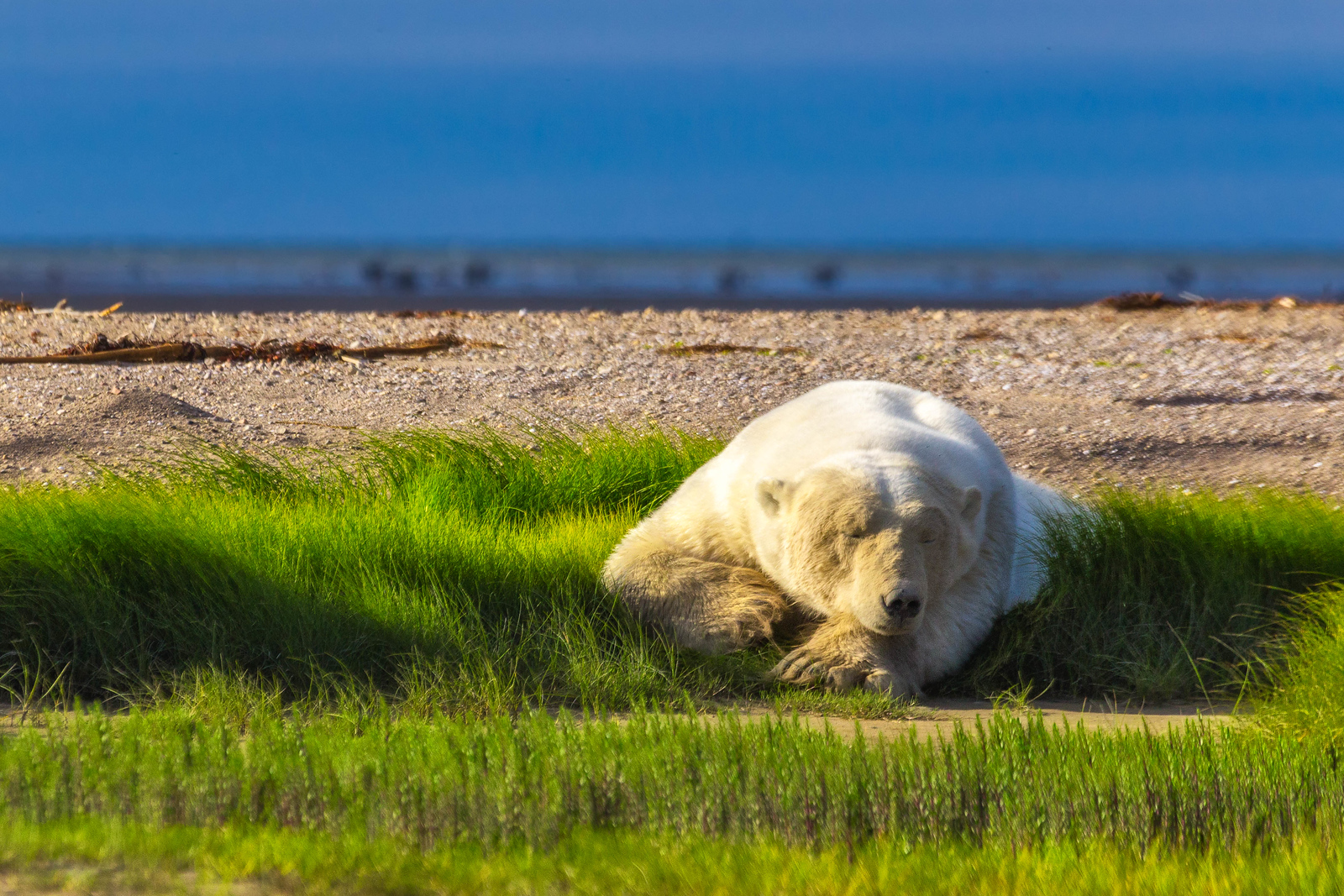 Polar bear photos -sleeping giant