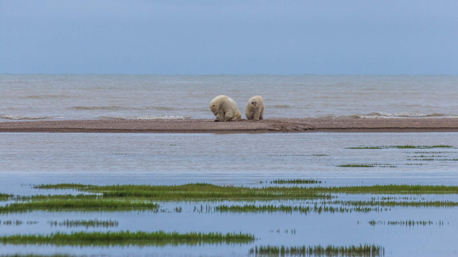 polar bears churchill wild