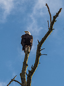 bald eagle blue sky Wolfville