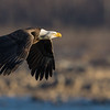A bald eagle flies down river into the rising sun
