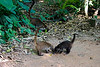 <center>Hungry Coatimundis   <br><br>Villa Hermosa, Mexico    </center>