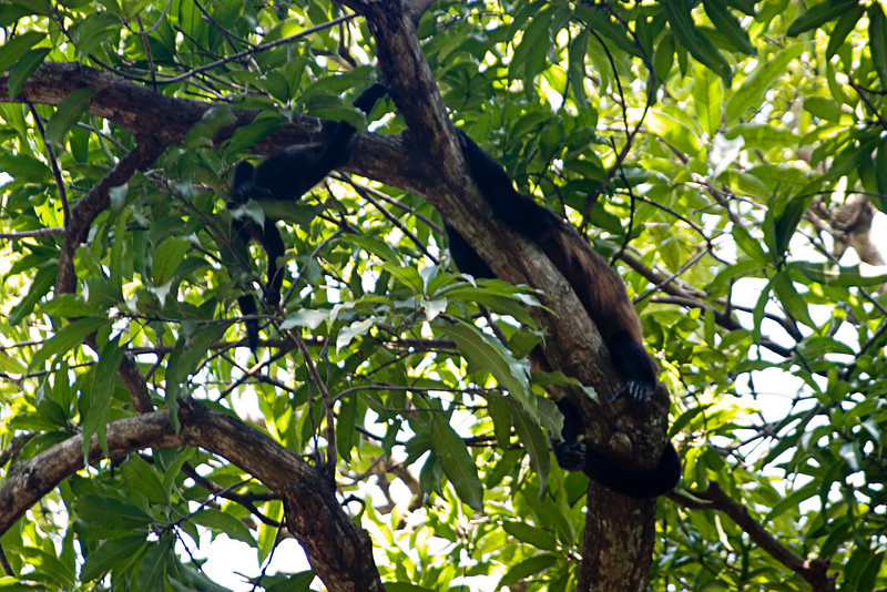 <center>Spider Monkeys   <br><br>Villa Hermosa, Mexico    </center>