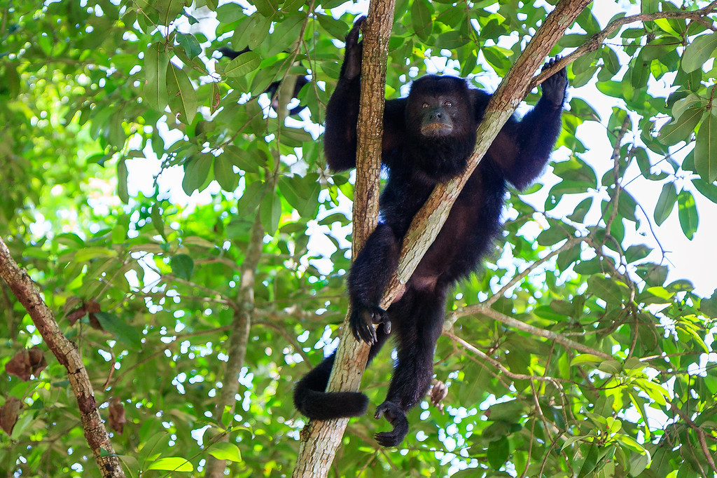 Howler Monkey Mexico
