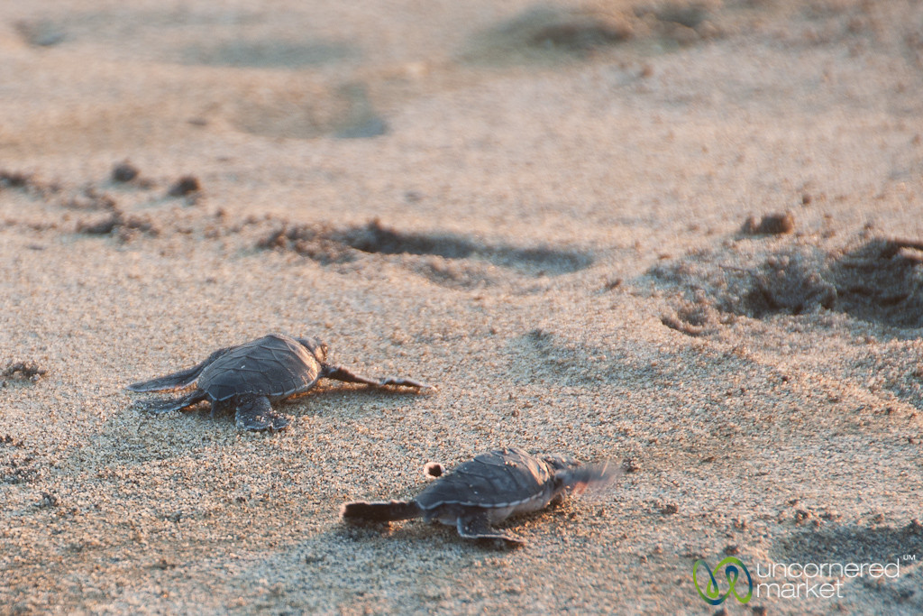Baby Sea Turtles - Playa La Ventanilla, Mexico