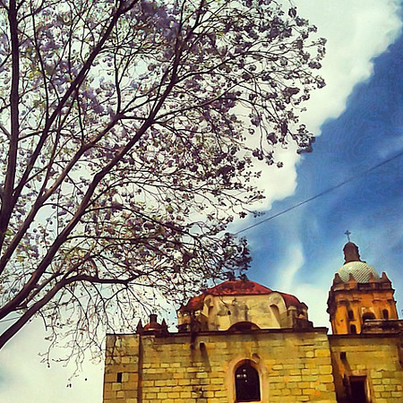 Jacaranda tree in full bloom at Santo Domingo Church for #spring #Frifotos #oaxaca