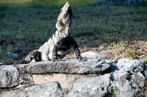 Iguana Stretch - Tulum, Mexico