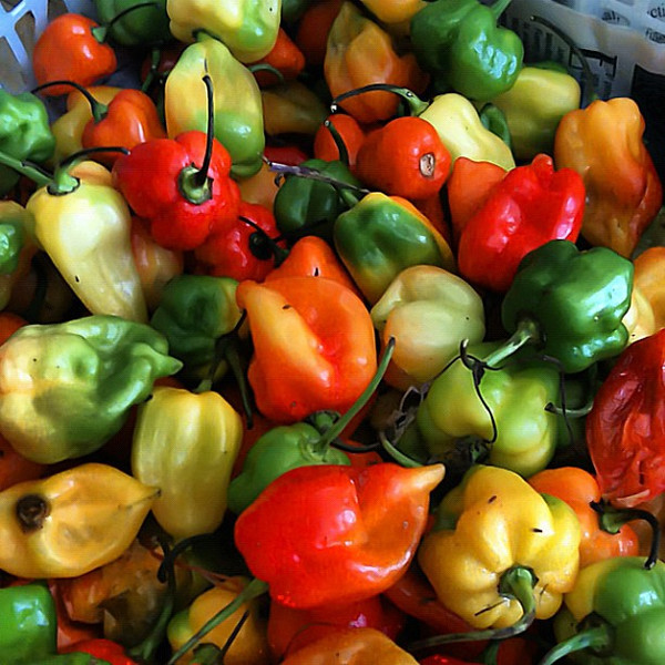 Habanero, picking a pack on Cozumel #wevisitmexico with @cozumelchef