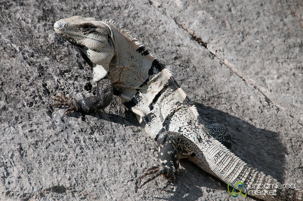Iguana at Chichen Itza - Yucatan, Mexico