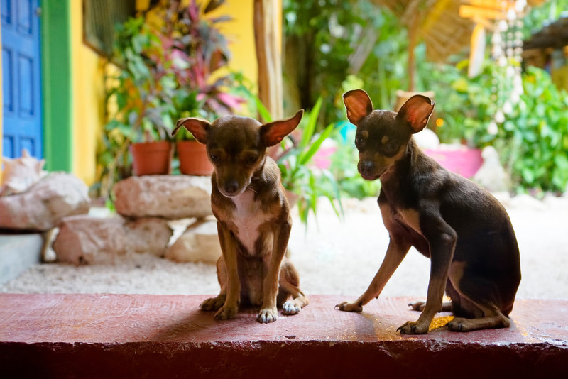 The Chihuahua Twins
