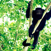 Howler Monkeys in the Jungle