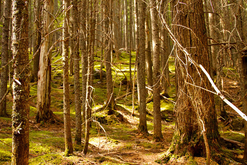 Old growth cedar forest on the hike to Avalanche Creek in Glacier National Park
